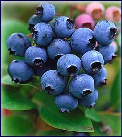 fcs-blueberries